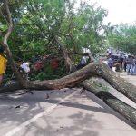 Pohon Tumbang Nyaris Merenggut Nyawa 2 Penumpang Mobil Brio di Prabumulih