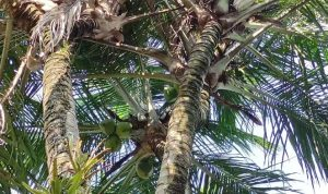 HEBOH! Pohon Kelapa Bercabang 8 di Pacitan Diburu untuk Obat-Ditawar Belasan Juta